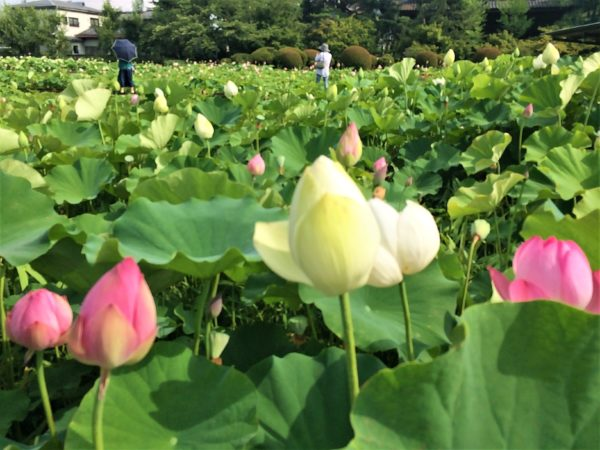 lotus-kokubunji
